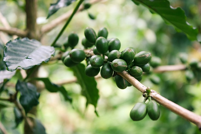 5 Reasons Why You Must Take Green Coffee
